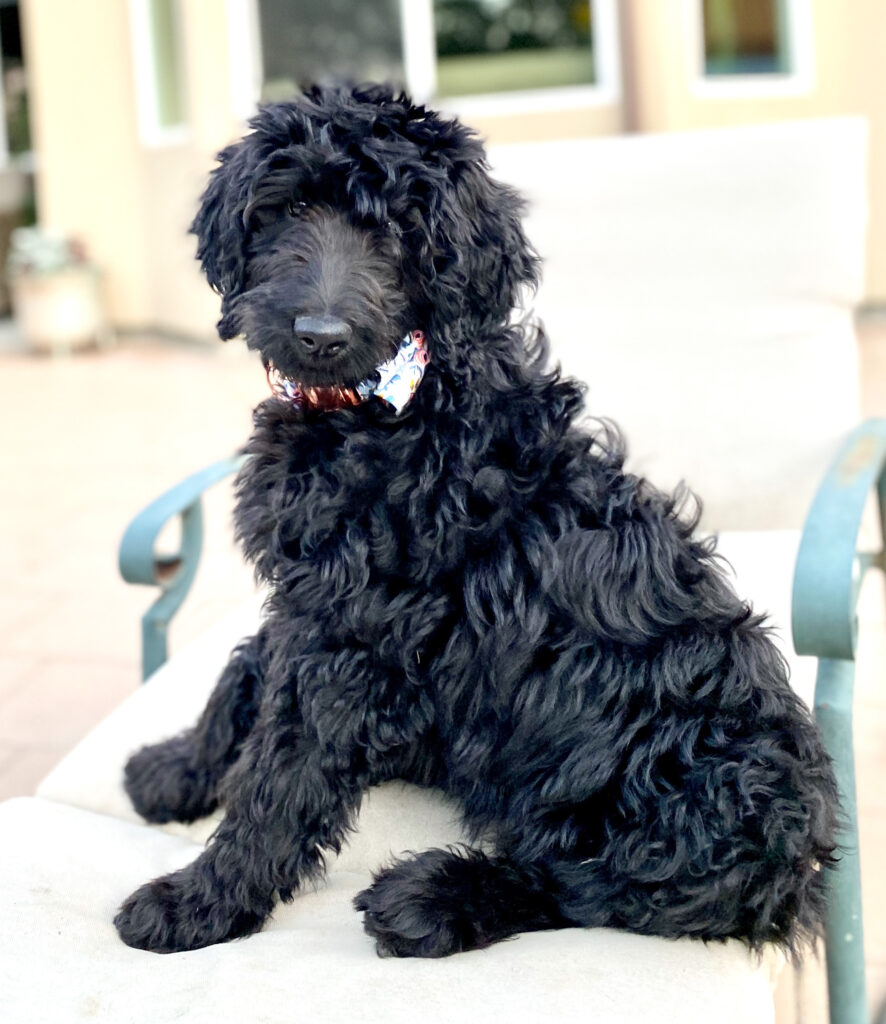 Black Goldendoodle puppy in a Packleashes collar with bow in Rose'