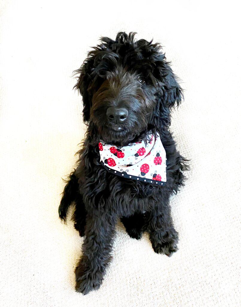 june from juneshack wearing a ladybug dog bandana